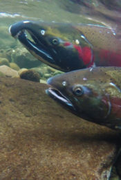 Global Warming Causing Wild Salmon to Lose Sense of Smell Thumbnail